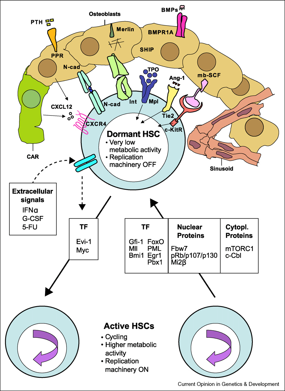 Regulators of HSC dormancy
